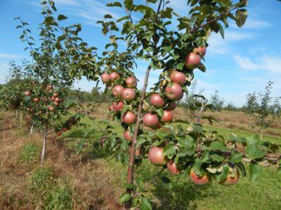 Нижегородские аграрии получили первый урожай яблок в новых садах